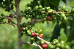 Кофейные зерна и деревья на кофейных плантациях в озере Toba Суматра, Индонесия стоковые изображения rf
