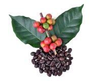 Кофейные зерна и зрелый кофе Стоковое Фото