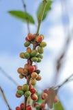 Кофейные зерна на дереве в севере Таиланда Стоковое Фото