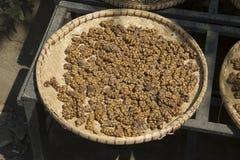 Кофейные зерна от кота циветты стоковые фотографии rf