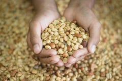 Кофейные зерна раньше Стоковые Изображения