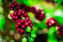 кофе вишни фасолей сырцовый стоковая фотография