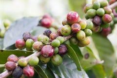 кофе фасоли сырцовый Стоковое Фото