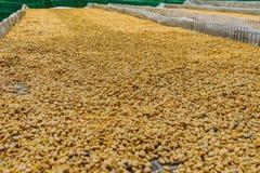 Кофе Luwak, грязные кофейные зерна, luwak Kopi кофе который включает част-усвоенные вишни кофе съеденные и испражнянные  стоковые изображения rf