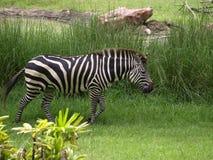 Кочуя зебра Стоковое Фото