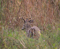 Кочуя самец оленя Стоковое Изображение