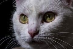 Кошачий взгляд Кошачий крупный план намордника Стоковые Фото