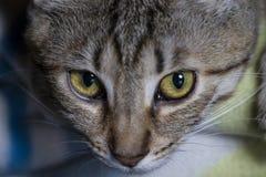 Кошачий, прелестный общий tabby волос кота стоковая фотография rf