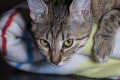Кошачий, прелестный общий tabby волос кота стоковое фото rf