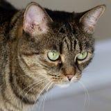 кошачий Стоковая Фотография
