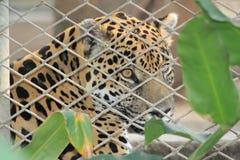 Кошачье за барами зоопарка Стоковые Фотографии RF