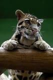 Кошачьи, дружелюбные животные на зоопарке Праги Стоковое фото RF