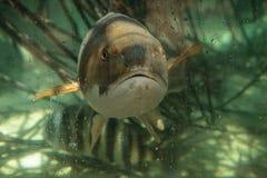 Кошка Ariopsis сома моря Hardhead Стоковые Фотографии RF