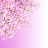 Коллаж гиацинта цветов розового Стоковые Фото