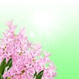 Коллаж гиацинта цветов розового Стоковое фото RF