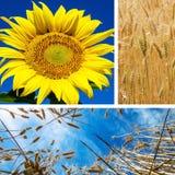 Коллаж девушки и солнцецвета Стоковая Фотография