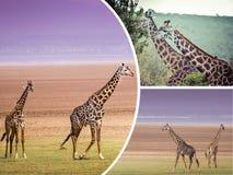 Коллаж жирафа от Танзании - путешествуйте предпосылка (мои фото) Стоковые Изображения