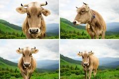 Коллаж коровы в горах Стоковое Изображение RF
