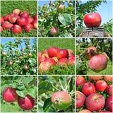 Коллаж плодоовощ Яблока Стоковое фото RF