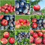 Коллаж плодоовощ яблок и слив Стоковое Изображение