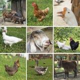 Коллаж сцен от жизни фермы Стоковые Изображения