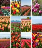 Коллаж тюльпана Стоковое Изображение RF