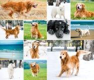 Коллаж фото собак Стоковые Фотографии RF