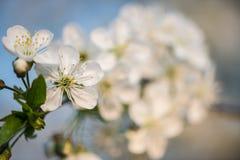 Коллаж цветков весны Собрание зацветая дерева в саде против детенышей весны цветка принципиальной схемы предпосылки белых желтых Стоковые Изображения