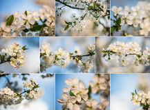 Коллаж цветков весны Собрание зацветая дерева в саде против детенышей весны цветка принципиальной схемы предпосылки белых желтых Стоковая Фотография RF