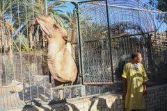 Кола верблюда выпивая в зоопарке Стоковое Изображение RF