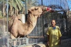 Кола верблюда выпивая в зоопарке Стоковая Фотография