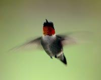 Колебаясь колибри стоковые фото