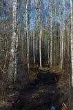 Колейности сезона дороги грязи сельские, одичалое предыдущее болото весны, береза в марте Стоковые Фотографии RF