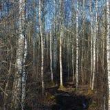 Колейности сезона дороги грязи сельские, одичалое предыдущее болото весны, лес дерева березы в марте, пакостные тинные следы груз Стоковая Фотография RF