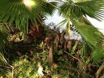 Колени дерева Distichum Taxodium (облыселого Cypress) рядом с прудом Стоковая Фотография