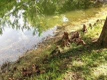 Колени дерева Distichum Taxodium (облыселого Cypress) рядом с прудом Стоковые Изображения RF