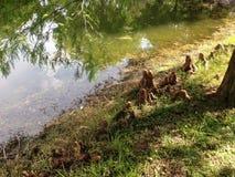 Колени дерева Distichum Taxodium (облыселого Cypress) рядом с прудом Стоковые Фотографии RF