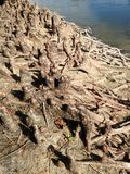 Колени и корни кипариса Distichum Taxodium облыселые рядом с водой Стоковые Фотографии RF