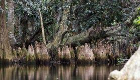 Колени Cypress пруда, испанский мох, охраняемая природная территория соотечественника болота Okefenokee Стоковые Изображения
