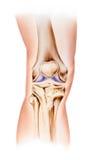 Колено - нормальный взгляд Frontal анатомии стоковое изображение