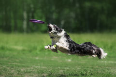 Коллиа границы улавливая диск Frisbee Стоковые Изображения RF