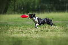Коллиа границы улавливая диск Frisbee Стоковая Фотография