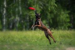 Коллиа границы улавливая диск Frisbee Стоковое Фото