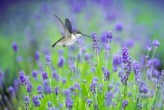 Колибри в движении окруженный фиолетовыми цветками лаванды Стоковые Изображения