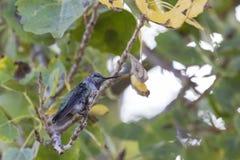 Колибри в дереве Стоковые Фото