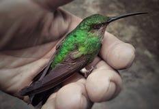 Колибри в Колумбии Стоковое Фото