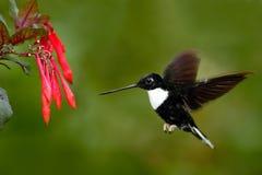Колибри в мухе Летящая птица от природы Collared Inca, torquata Coeligena, темный ый-зелен черно-белый колибри летая затем Стоковое Изображение