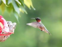 Колибри в полете Стоковые Изображения