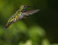 Колибри в полете стоковая фотография