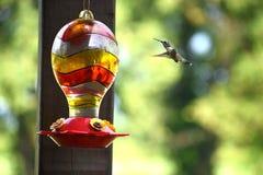 Колибри летания Стоковое Изображение